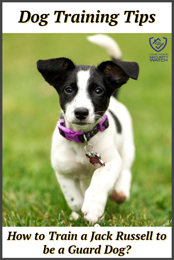 Jack Russell Terrier Guard Dog Training Tips