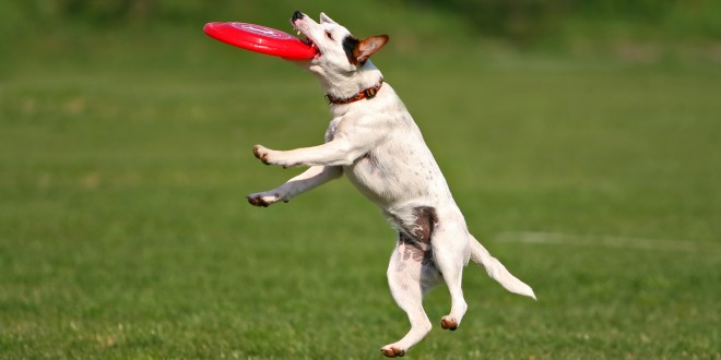 frisbee with jack russell terrier
