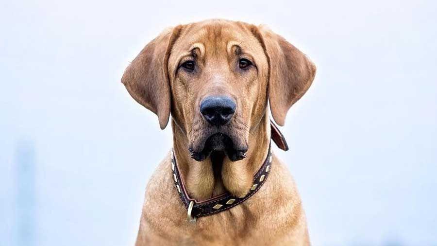 labrador guard dog