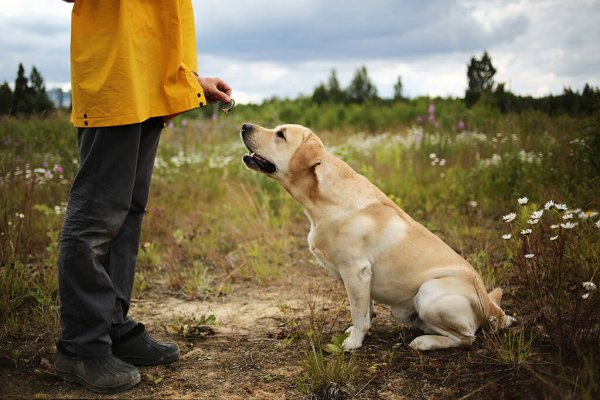 obedient labrador