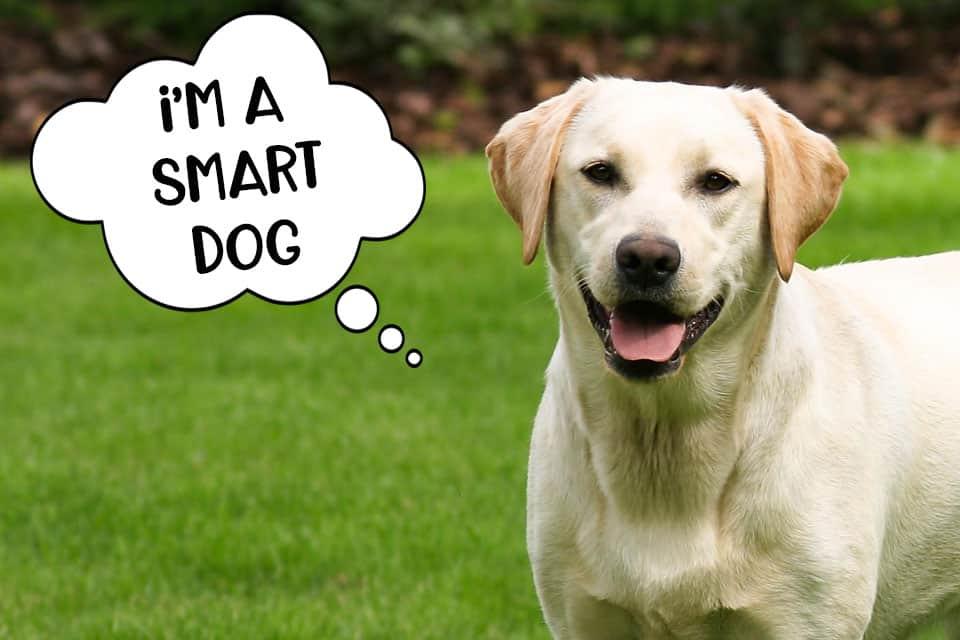 smart labrador