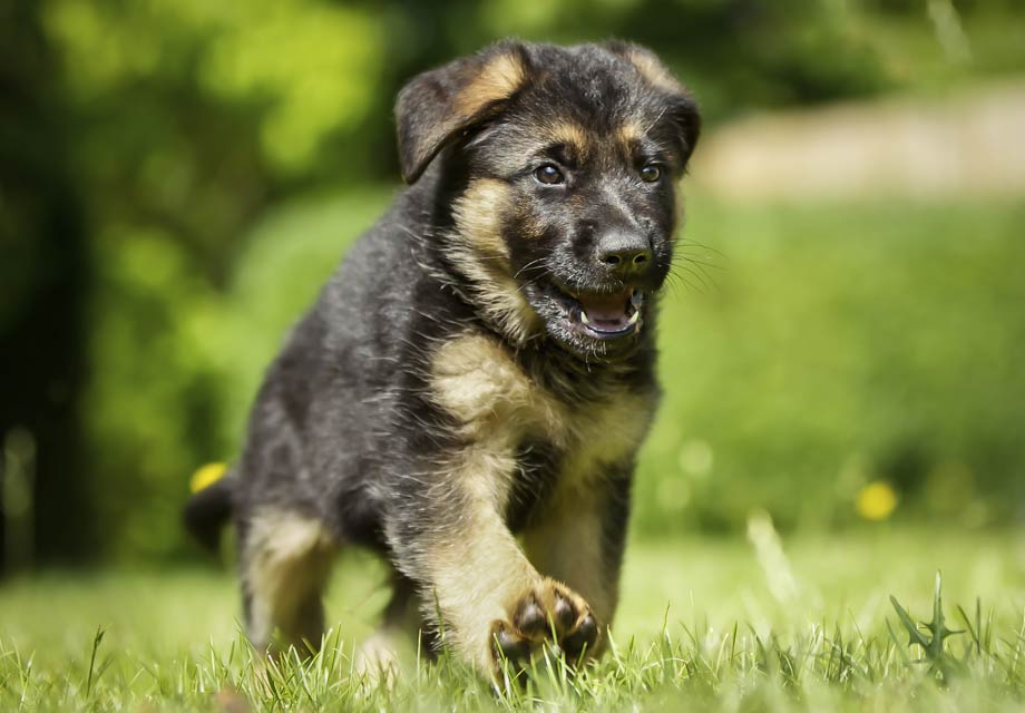 German_Shepherd puppy