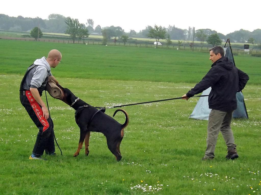 Guard Dog Training For A Doberman