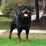 Guard Dog Training for German Rottweiler