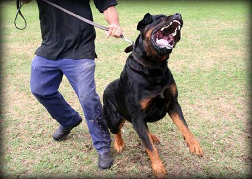 rottweiler dog attacks. let it know that you are in control and the one who determines represents a threat. applies to some situations, like excessively rottweiler dog attacks