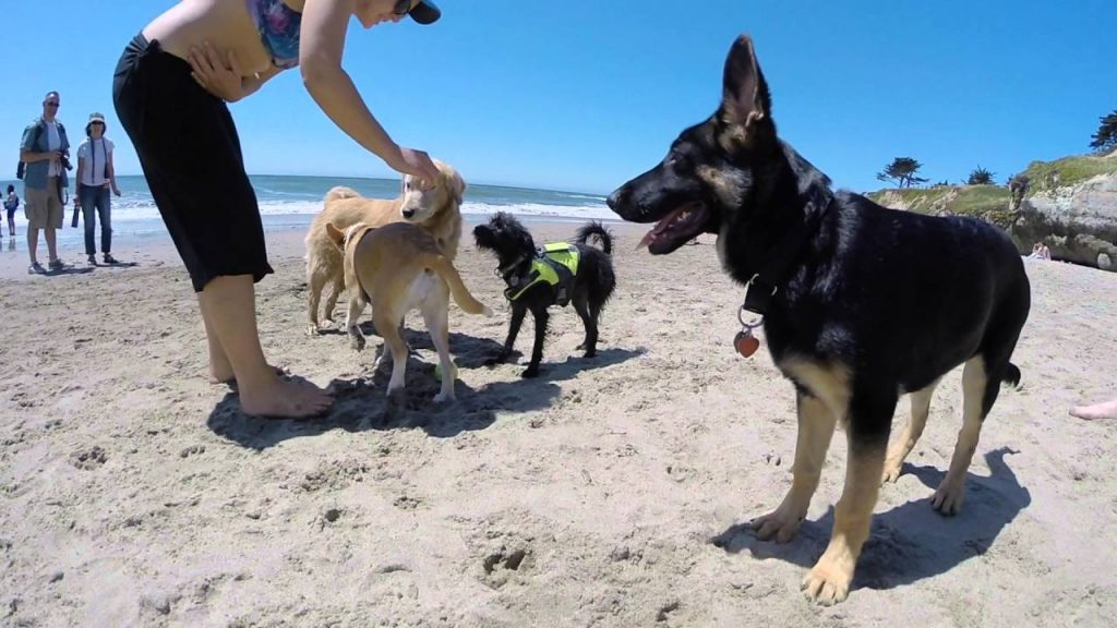 german shepherd socialization
