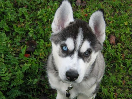 Training Your Husky To Be A Guard Dog