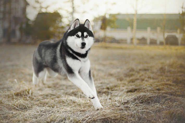 husky obedience