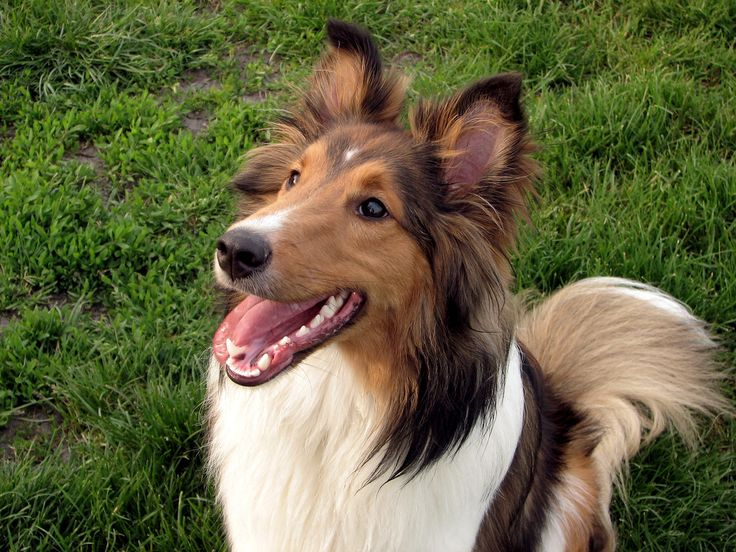 sheltie dog training