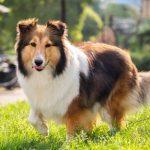 Dog Training for a Sheltie