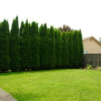 How to plant privacy trees