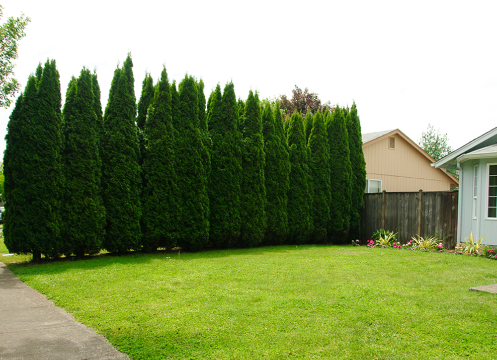 How to plant a privacy tree fence for Backyard privacy landscaping trees
