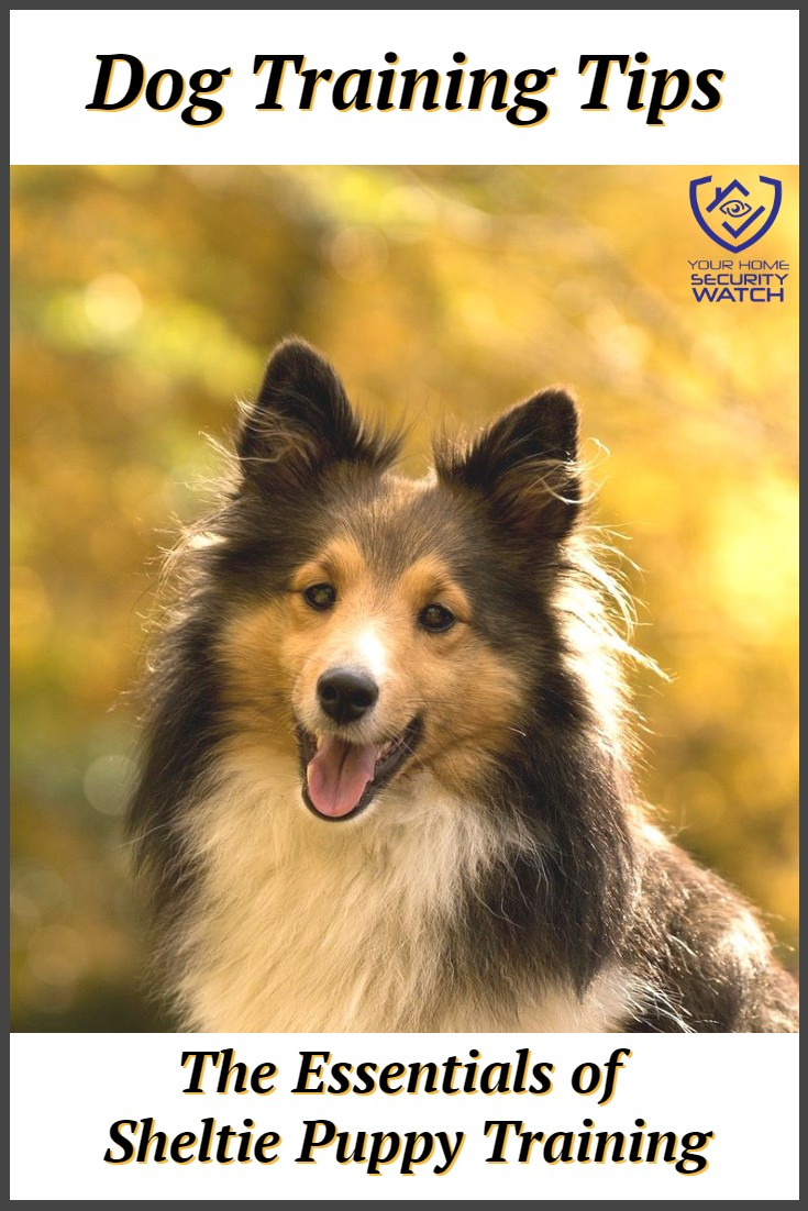 How to train a Sheltie