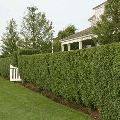 North Privet privacy fence