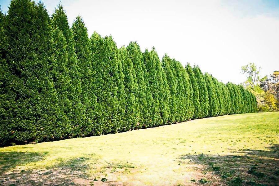 122 Leyland Cypress - TreesCharlotte