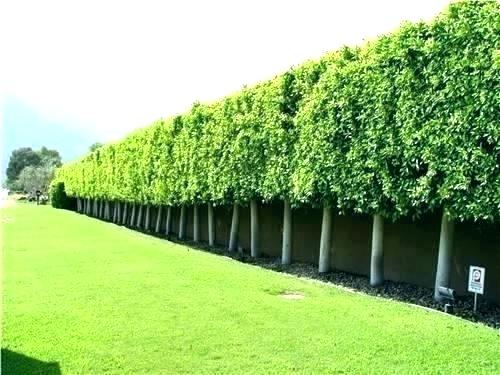 How To Plant A Privacy Tree Fence