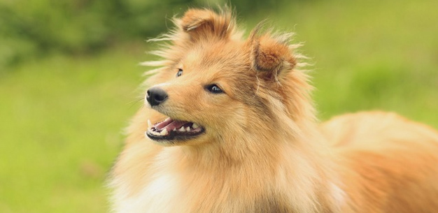 sheltie dog